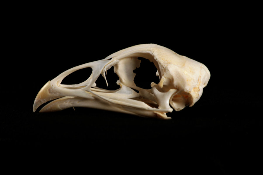 Image result for chicken skull