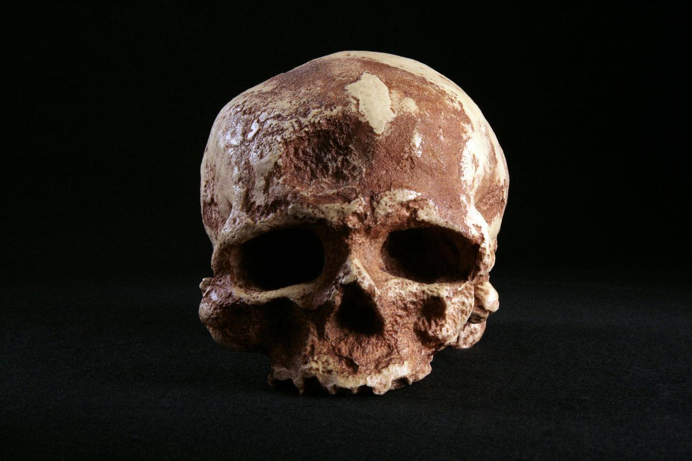 360° View Hominid Skull-Homo sapiens Cro-Magnon 1