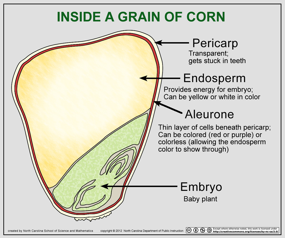 Corn Plant Diagram Corn Kernel Diagram